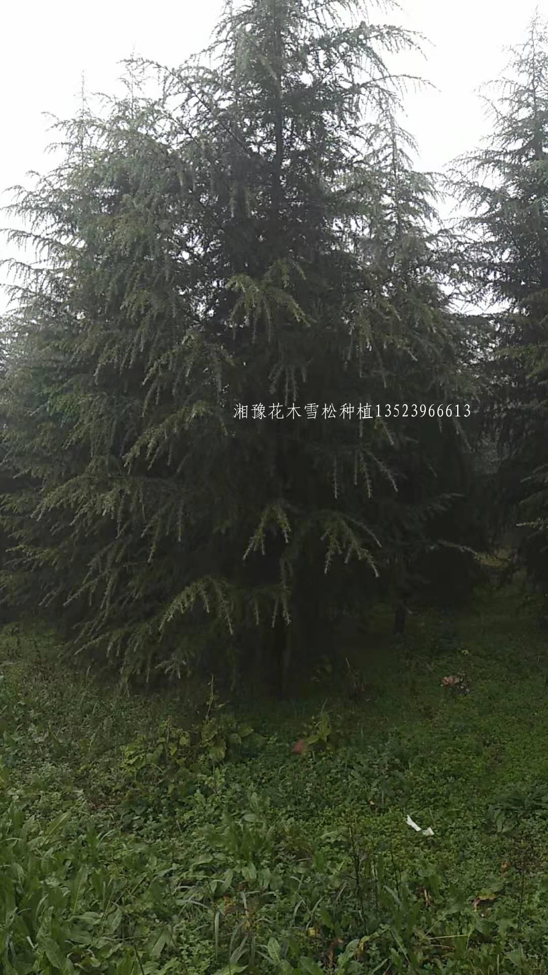 雪松种植技术
